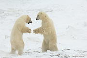 Churchill, Manitoba. Canada. Polar Bear, Fox, and Wolf habitat.