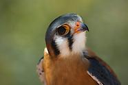 American Kestrel, Falco sparverius