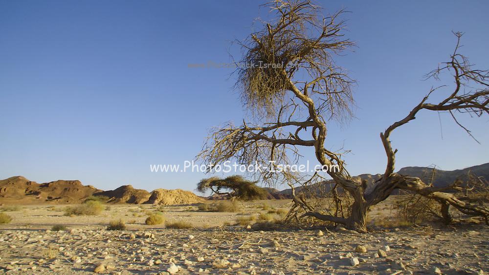 Dry Acacia tree in Nahal Raham (Wadi Raham), Eilat Mountains, Israel