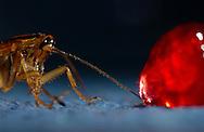 Deu, Deutschland: Deutsche Schabe (Blattella germanica) nähert sich einem Klecks Marmelade | Deu, Germany: German cockroach (Blattella germanica) approaching a blob of jam |