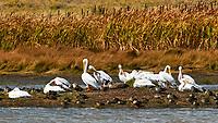 Canada Goose (Branta canadensis), Mallard (Anas platyrhynchos), and American White Pelican (Pelecanus erythrorhynchos). Arapaho National Wildlife Refuge, Colorado. Image taken with a Nikon D300 camera and 200 mm f/2 VR lens with a 2.0x TC-EII teleconverter.