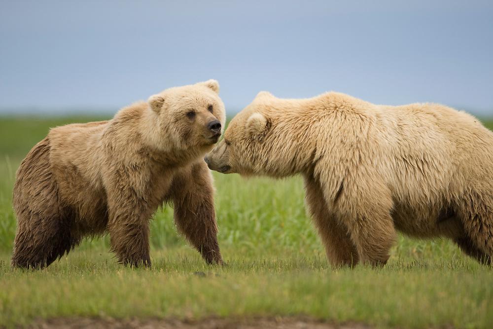 USA, Alaska, Katmai National Park, Brown Bears (Ursus arctos) standing nose to nose in meadow along Hallo Bay