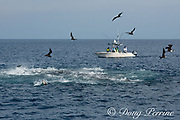 sportfishing charter boat trolls past a tuna boil of frenzied sardines making the sea surface boil as they frantically try to escape the attack of yellowfin tuna, Thunnus albacares, from below, and magnificent frigate birds, Fregata magnificens, from above, Costa Rica, Central America ( Eastern Pacific Ocean )