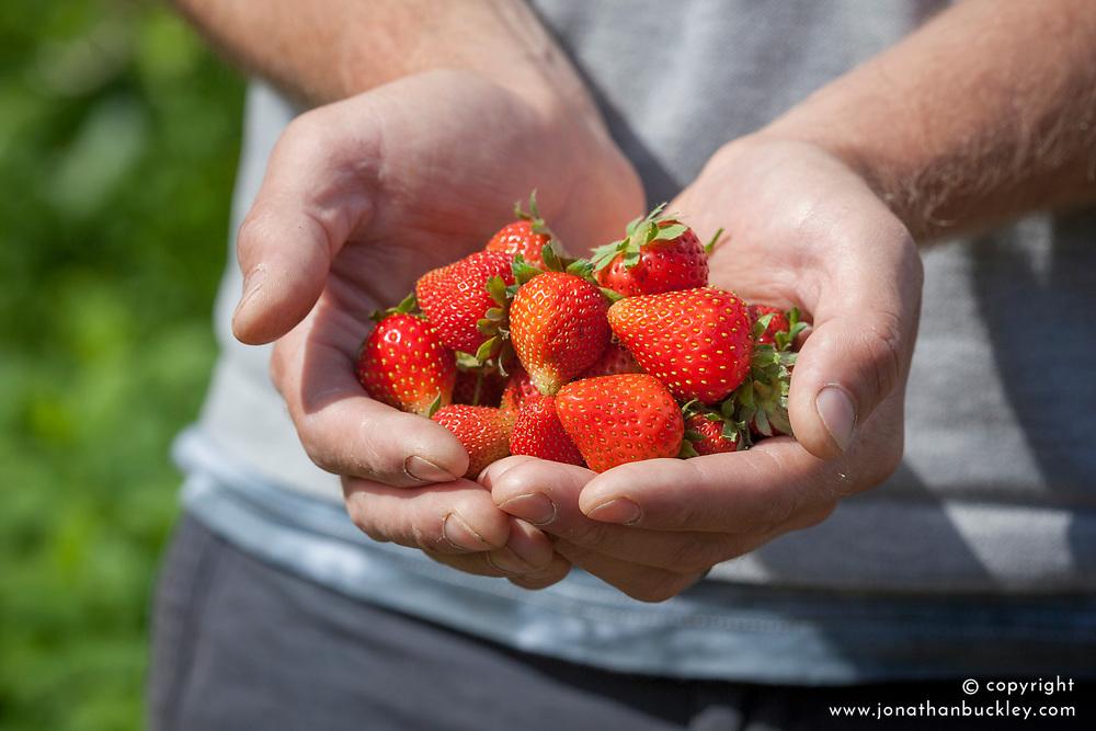 Handful of harvested strawberries