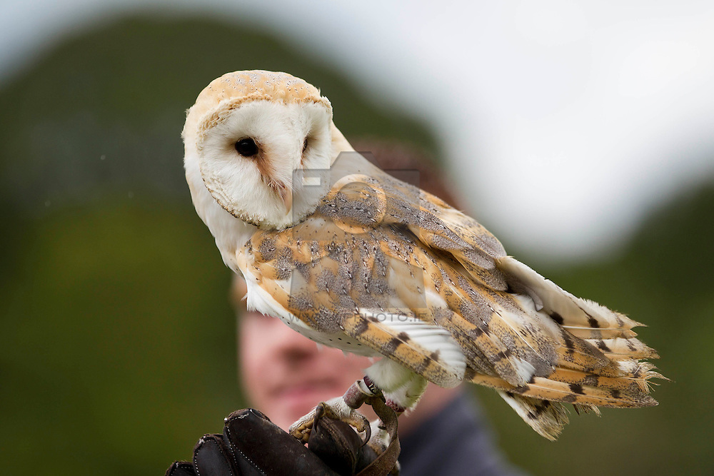 No fee for Repro: Barney the Barn Owl thrilled children and adults alike at a falconry display during the Victorian Garden Party to celebrate the official opening of Wells House and Gardens in Ballyedmond Gorey Co Wexford. Pic Andres Poveda