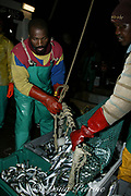 fishermen unload catch of sardines or pilchards, <br /> Sardinops sagax, for processing and canning at the <br /> sardine factory ( cannery ) at Gansbaai, South Africa