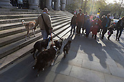 With afternoon sunshine backlighting the scene, a dog-walker with his animal companions walk past St. Martin's church steps in Trafalgar Square. A crowd of people are ahead and look on to the variety of breeds that are being exercised on the capital's streets - their shadows playing across the clean pavements.