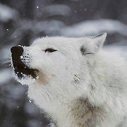 Gray Wolf (Canis lupus) alpha male howling in snowy timber during mid-winter. Captive Animal