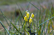 Toadflax (Linaria vulgaris) is an invasive, non-native species.  This specimen was found growing along the roadside in Kekuli Bay Provincial Park near Vernon, British Columbia, Canada