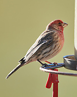 House Finch (Haemorhous mexicanus). Image taken with a Nikon D850 camera and 600 mm f/4 VR lens