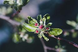 THEMENBILD - Wassertropfen auf einer Apfelblüte, aufgenommen am 18. April 2020, Kaprun, Österreich // Waterdrops on an apple blossom on 2020/04/dd, Kaprun, Austria. EXPA Pictures © 2020, PhotoCredit: EXPA/ Stefanie Oberhauser