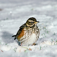 Redwing Turdus iliacus Length 20-22cm. Small, well-marked thrush. Forms flocks in winter and mixes with Fieldfare. Sexes are similar. Adult has grey-brown upperparts; pale underparts are dark-spotted and flushed with orange-red on flanks and underwings. Has white stripes above eye and below cheeks. Juvenile is similar but has pale spots on upperparts and subdued colours on flanks. Voice Utters a thin, high-pitched tseerp in flight; often heard on autumn nights from migrating flocks. Song (seldom heard here) comprises short bursts of whistling and fluty phrases. Status Common winter visitor to farmland and open, lightly wooded countryside. A few pairs breed here each year, mainly in NW.