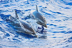 Pantropical Spotted Dolphins, Stenella attenuata, riding boat wakes, mother and calf, off Kona Coast, Big Island, Hawaii, Pacific Ocean
