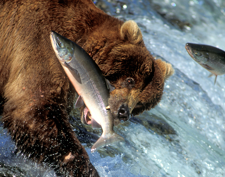 USA, Alaska, Katmai Nat'l Park, Grizzly Bear (Ursus arctos) catches red salmon (Oncorhynchus nerka) at Brooks Falls