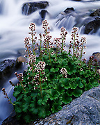Alaska Boykinia, Boykinia Richardsonii, blooming along tributary of Hope Creek, Lake Clark National Park, Alaska.
