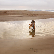 A Dingo wades in a tide pool on Fraser Island, Australia, scavenging for fish.