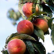 Peaches on the tree in California