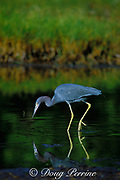 little blue heron, Egretta caerulea, hunting, Matheson Hammock, Miami, Florida, USA