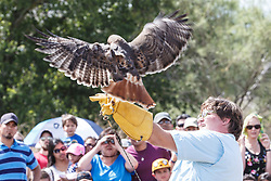 Showing hawk to crowd at Raptor Show by Last Chance Forever rehabilitation center, Mitchell Lake Audubon Center, San Antonio, Texas, USA.