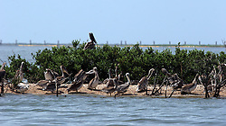 23 July 2010. Cat Islands. Barataria Bay near Grand Isle, Louisiana. <br /> Has mother nature naturally cleaned up the oil spill with human help? Young immature pelicans rest on one of the Cat islands near Grand Isle. In what would appear to be good news for the area, the pelicans and boom are clean. A sweep through Barataria bay uncovered only two oiled pelicans. No tar balls or oil were seen in the water. Many of the marsh grasses appeared to be growing back. Perhaps the area is witnessing the beginning of the end of the disaster from BP's massive oil spill in the Gulf of Mexico? It will be many years before the long term effects of the spill are known and a tropical storm or hurricane could still bring large slicks of oil ashore. For now though, the situation looks relatively good.<br /> Photo credit; Charlie Varley/varleypix.com