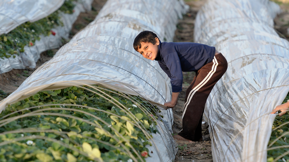 Ten-year old Saad Abukhussa helps cover strawberry beds for the night on his familiy's farm in Beit Lahia in the northern Gaza strip. After several years of blocking strawberry exports, in late 2010 Israel began permitting limited exports of strawberries from the Gaza strip, destined for European markets..