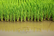 Rice plants growing on the edge of a paddy field on the 2nd of October 2018 in Satkhira District, Bangladesh. Recently salt resistant paddy has been developed offering hope to farmers who's crop is affected by climate change.  Satkhira is a district in southwestern Bangladesh and is part of Khulna Division. It lies along the border with West Bengal, India. It is on the bank of the Arpangachhia River. (photo by Andrew Aitchison / In pictures via Getty Images)