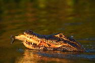 Brillenkaimane (Caiman yacare) mit Beute im Pantanal, Brasilien<br /> <br /> Yacare Caiman (Caiman yacare) with prey in the Pantanal, Brazil