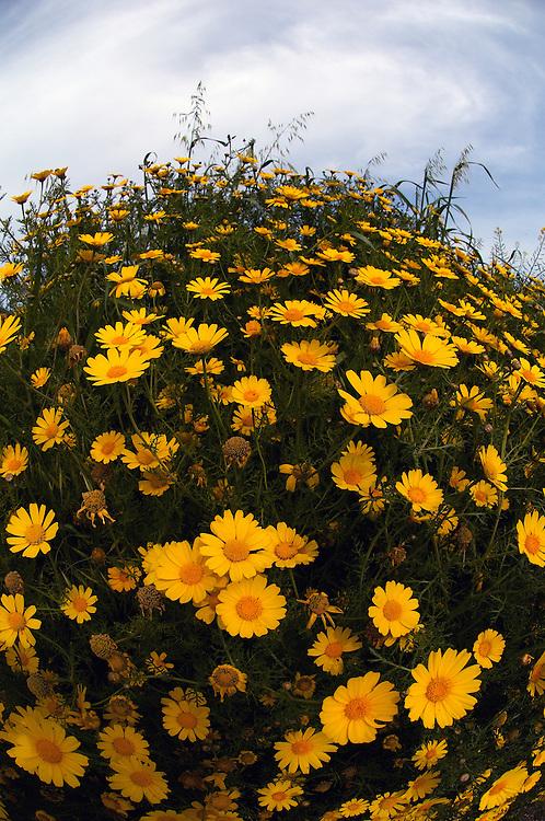 Crown Daisy (Chrysanthemum coronarium), Cyprus