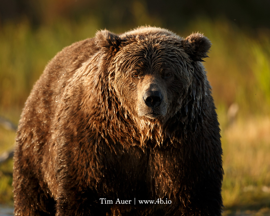 """""""If you play with a bear, you must take the bear's play."""" A common saying in old California; and appreciated in full by those who tussled with California grizzlies."""
