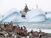 """Gentoo Penguins (Pygoscelis papua) emerge from iceberg bejeweled waters of the Southern Ocean to waddle to their summer colony on Cuverville Island, Antarctica. On the left one penguin feeds two chicks by mouth. An adult Gentoo Penguin has a bright orange-red bill and a wide white stripe extending across the top of its head. Chicks have grey backs with white fronts. Of all penguins, Gentoos have the most prominent tail, which sweeps from side to side as they waddle on land, hence the scientific name Pygoscelis, """"rump-tailed."""" As the the third largest species of penguin, adult Gentoos reach 51 to 90 cm (20-36 in) high. They are the fastest underwater swimming penguin, reaching speeds of 36 km per hour. The rocky Cuverville Island is in Errera Channel off the west coast of Graham Land, the north portion of the Antarctic Peninsula. The island was discovered by the Belgian Antarctic Expedition (1897-1899) under Adrien de Gerlache, who named it for J.M.A. Cavelier de Cuverville (1834-1912), a vice admiral of the French Navy. Cuverville Island or Île de Cavelier de Cuverville is located at 64 degrees 41 minutes South Latitude and 62 degrees 38 minutes West Longitude."""