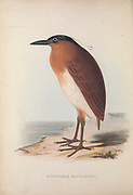 Nycticorax caledonicus manillensis (Rufous Night-Heron) from Zoologia typica; or, Figures of new and rare animals and birds described in the proceedings, or exhibited in the collections of the Zoological Society of London. By Fraser, Louis. Zoological Society of London. Published London, March 1847
