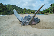 A female Leatherback Sea Turtle, Dermochelys coriacea, nests in the middle of the hot afternoon and covers her nest prior to returning to the Caribbean Sea in Grande Riviere, Trinidad.