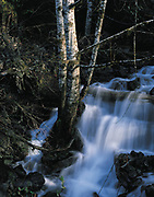 A clump of alders survives the soggy ground in the middle of a stream that feeds the Dosewallips River on the Olympic Peninsula.(Harley Soltes / The Seattle Times)