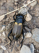 A female field cricket (family Gryllidae), in Val di Funes (Villnöss), Dolomites, South Tyrol, Italy, Europe. Females have an ovipositor at rear, extending out between two cerci (spiky protrusions from the back of the abdomen). See the valley and municipality of Funes (Villnöss) in Trentino-Alto Adige/Südtirol (South Tyrol), Italy. Enjoy great hiking here in the vast Nature Park of Parco Naturale Puez-Odle (German: Naturpark Puez-Geisler; Ladin: Parch Natural Pöz-Odles). The Dolomites are part of the Southern Limestone Alps, Europe. UNESCO honored the Dolomites as a natural World Heritage Site in 2009.