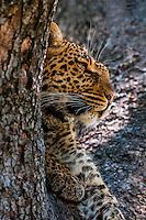 A leopard reveals itself through a tree limb, Linyanti Marshes, Botswana.