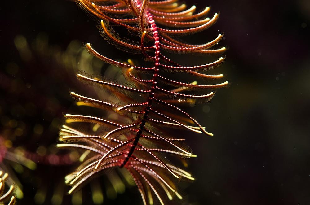 Crinoid/ Feather Star, unknown Cenolia novaezealandiae