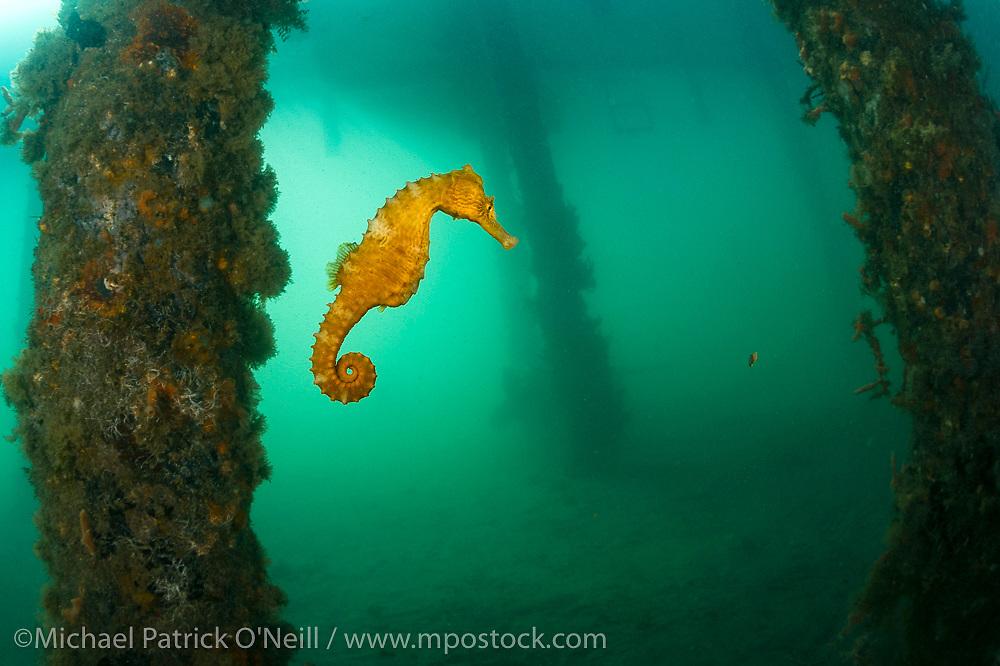 A female Long Snout Seahorse, Hippocampus reidi, swims underneath a boat dock near the Blue Heron Bridge in Singer Island, Florida, United States