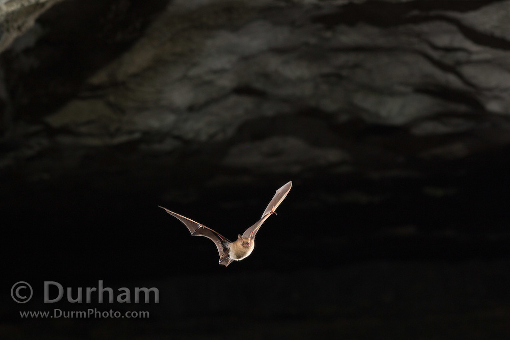 A tricolored bat (Perimyotis subflavus) emerging from Wyandotte Cave, Indiana.