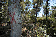 Israel, Galilee, Biria forest, Foresters working in a pine forest a tree marked with a red X for clearing,