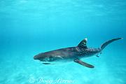 newborn baby tiger shark, Galeocerdo cuvier, Bimini, Bahamas ( Western Atlantic Ocean )