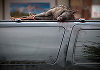 A hunter shot and killed this wolf in the predator zone near Bondaurant in October 2013, the last time wolves were removed from the Endangered Species List. After taking the wolf to the Wyoming Game and Fish offices for documentation, the hunter parked his truck with the wolf perched on top at the Jackson Town Square.