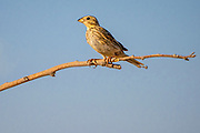 Corn Bunting (Emberiza calandra) Perched on a branch with a blue sky background Photographed in Israel in July