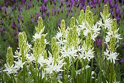 Camassia leichtlinii 'Alba' (Quamash) with French Lavender - Lavandula stoechas 'Papillon'