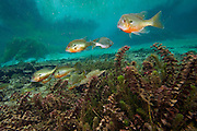 Red Breast Sunfish, Lepomis auritus, swim among the underwater vegetation in the Rainbow River in Dunnellon, Florida.