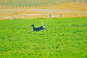 White-tailed deer (Odocoileus virginianus)<br />Maple Creek<br />Saskatchewan<br />Canada
