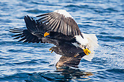 Two Steller's sea eagles (Haliaeetus pelagius) collide in flight catching a fish on the ocean surface, Raisa, Hokkaido, Japan