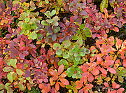 Leaves turn red, orange, and yellow in late August in Denali National Park and Preserve, Alaska, USA.