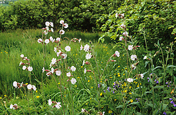 Silene latifolia - White campion growing in the meadow at Ketley's