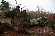 A fallen tree during Autumn in Highbury Park in Birmingham, United Kingdom. Highbury Park is located on the borders between Moseley and Kings Heath.