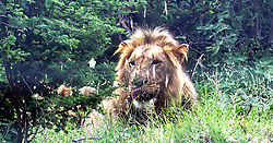 South Africa - Kruger National Park - 030120.  A male lion near Lower Sabie in Skukuza.  Picture Ian Landsberg. African News Agency (ANA).